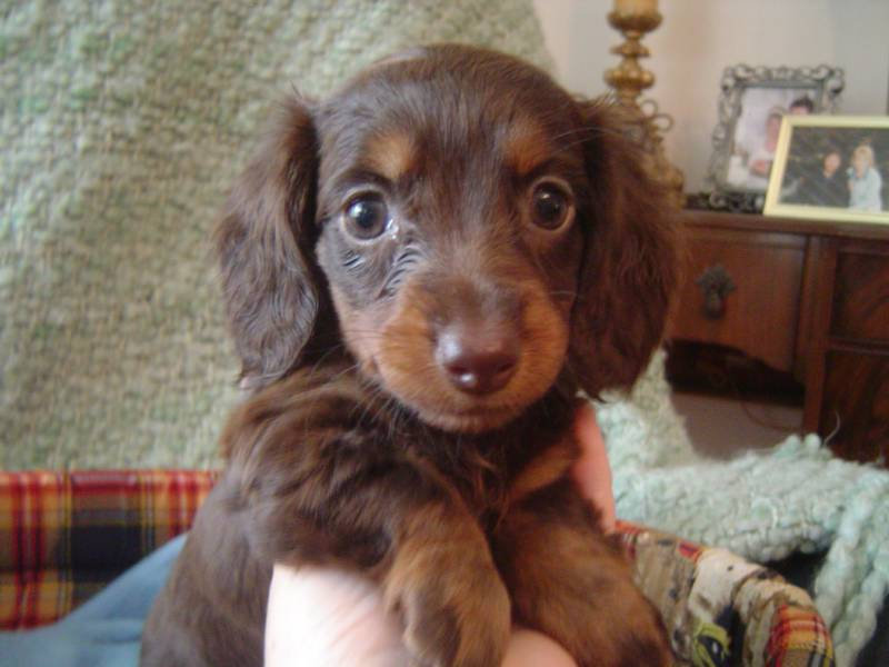 Words... Adult dachshunds groundhounds mini not our sale excellent idea