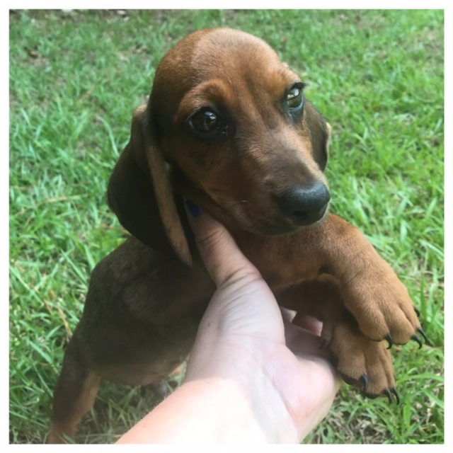 Doxieville Kennel, Smooth & Long Haired Miniature Dachshunds